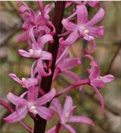 Rosy Hyacinth Orchid