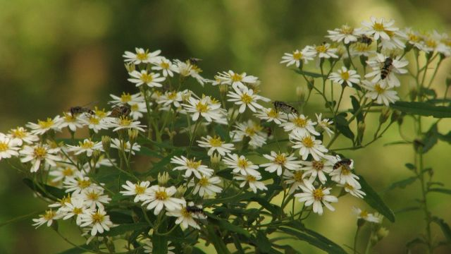 Dusty Daisy-bush