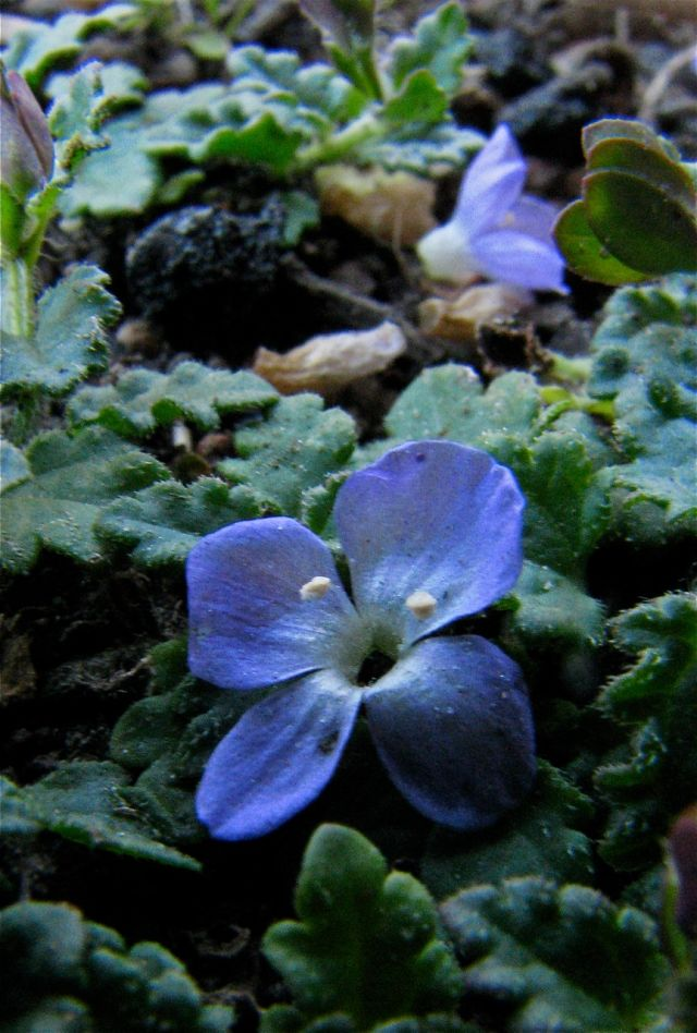 Trailing Speedwell